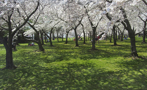 Cherry Blossoms Photograph - Under The Cherry Blossoms - Washington Dc. by Mike McGlothlen