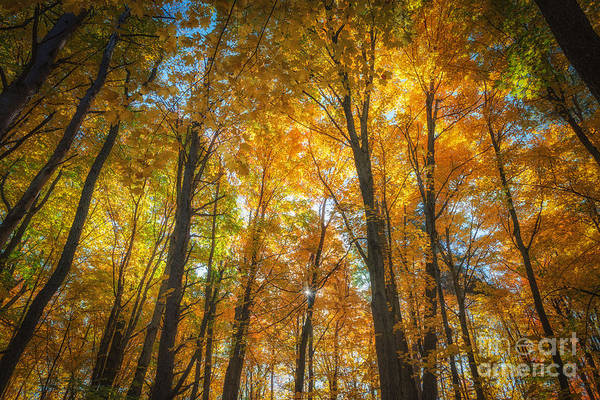 Under The Golden Canopy Art Print