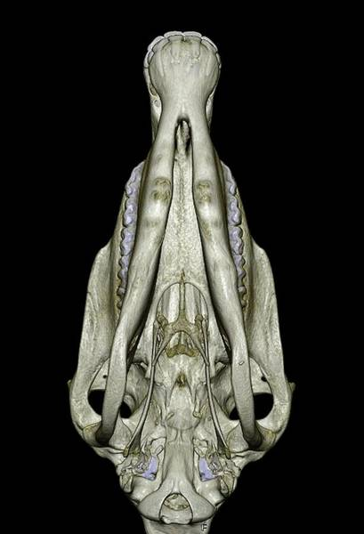 Temporal Bone Wall Art - Photograph - Underside Of A Horse's Skull by Anders Persson, Cmiv
