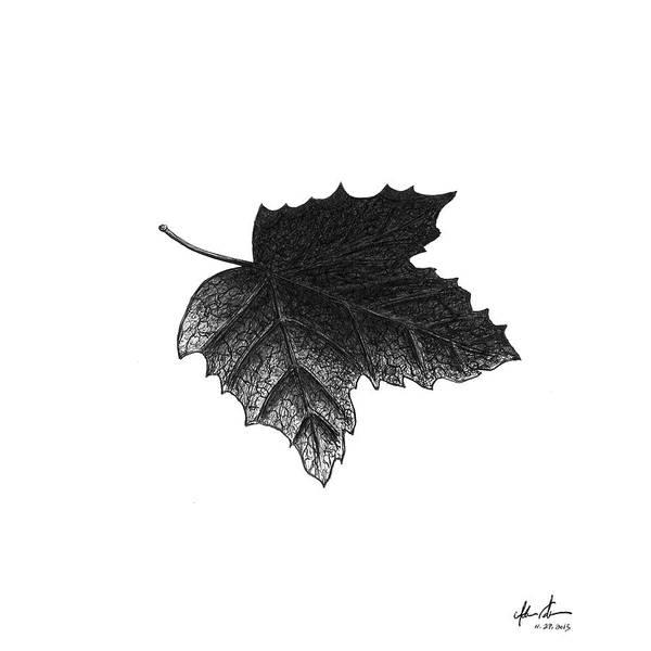 Maple Drawing - Underside Of A Leaf by Adam Vereecke
