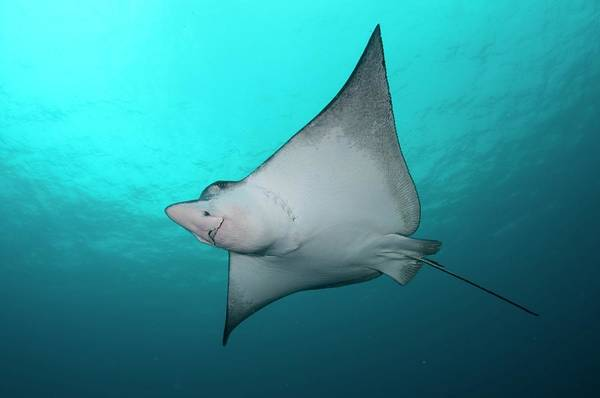 Eagle Ray Photograph - Underside Of Spotted Eagle Ray by Scubazoo