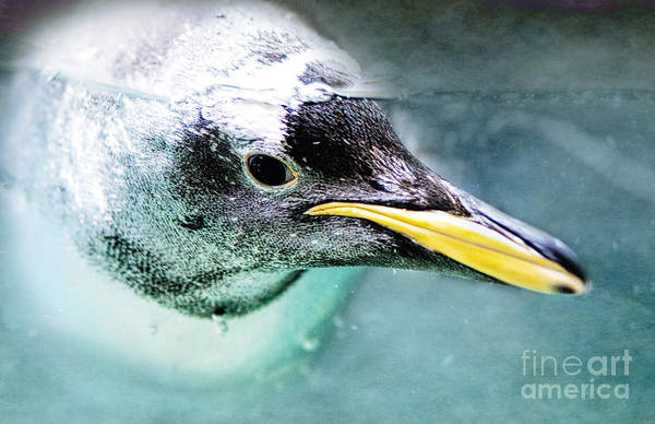 Photograph - Underwater Penguin by Pam  Holdsworth