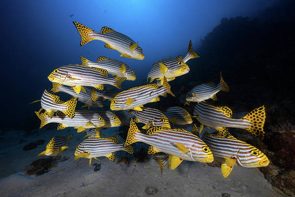 Indian Photograph - Underwater Photography-indian Ocean Sweetlips by Barathieu Gabriel