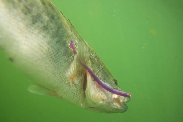 Wall Art - Photograph - Underwater View Of A Bass Swimming by Jay Reilly