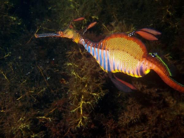 Seadragon Photograph - Undewater Dragon by Aimee Barnes