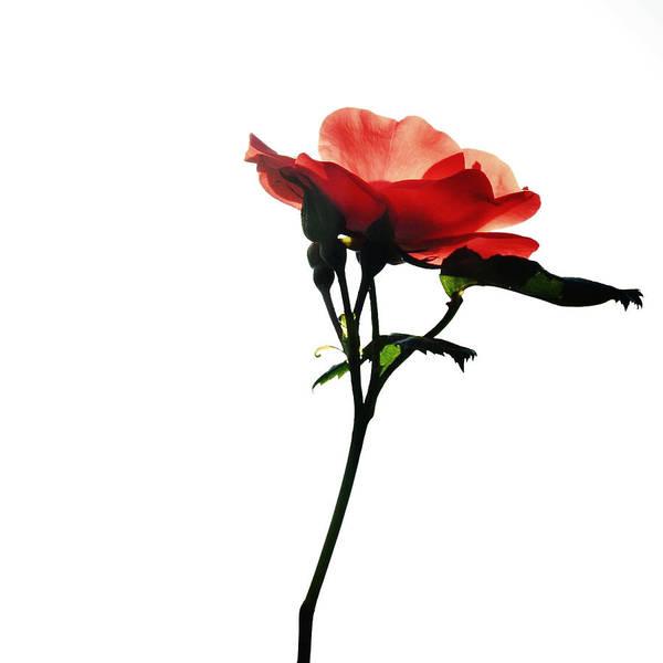 Photograph - Une Belle Fleur by Natasha Marco