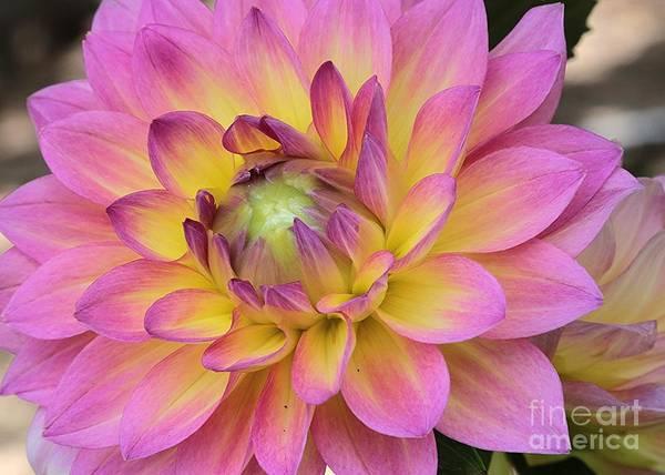 Photograph - Unfolding Dahlia by Carol Groenen