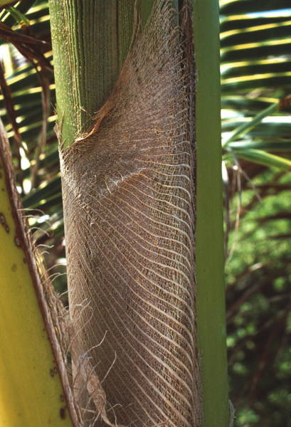 New Leaf Photograph - Unfurled Palm Leaf by Peter Falkner/science Photo Library