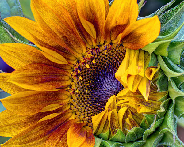 Sunflower Seeds Photograph - Unfurling Beauty - Cropped Version by Heidi Smith
