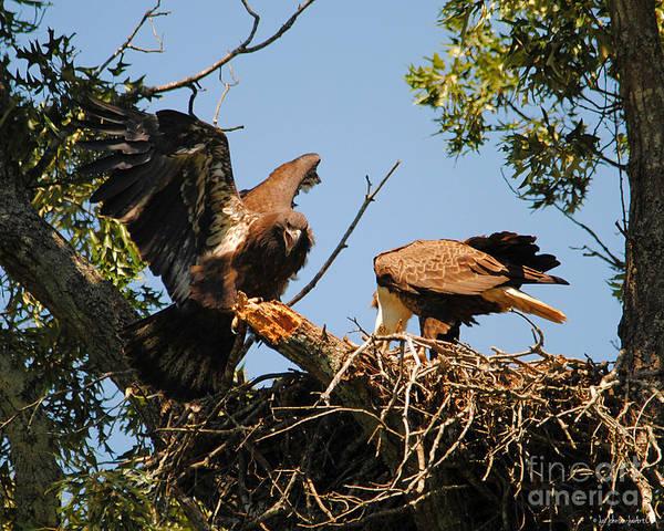 Photograph - Unhappy Eaglet by Jai Johnson