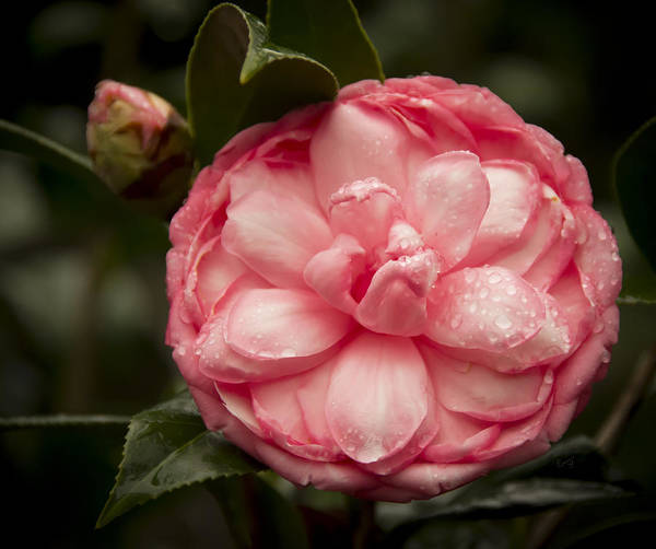 Photograph - Unique Shaped Camelia by Penny Lisowski