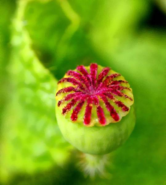 Photograph - Unknown Bud by David Rich