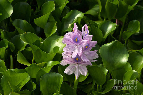 Photograph - Unmanageable Beauty The Water Hyacinth by Byron Varvarigos