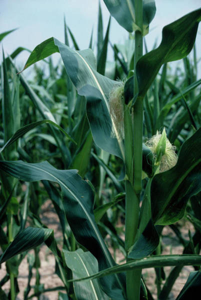 Corn Field Photograph - Unripe Corn In A Field by Adam Hart-davis/science Photo Library