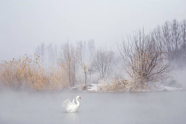 Swan Photograph - Untitled by Uu