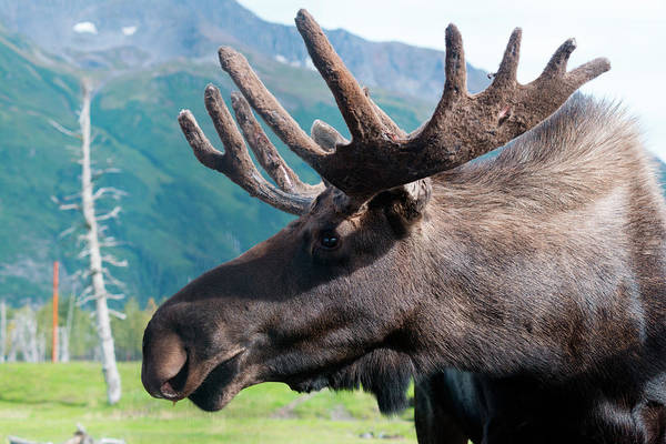 Wall Art - Photograph - Up Close And Personal With A Moose by Rick Daley
