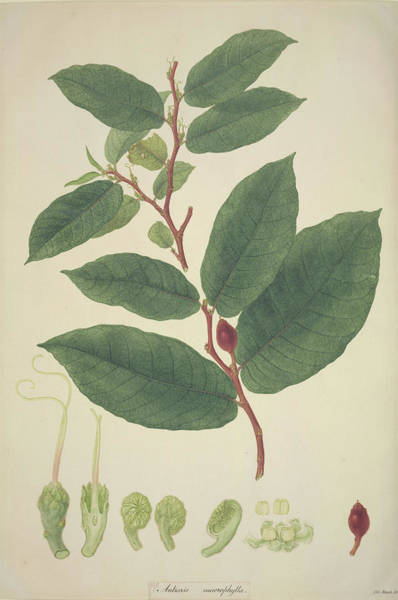 Upas Tree Leaves Art Print by Natural History Museum, London/science Photo Library