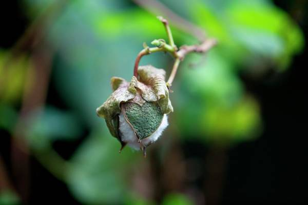 Upland Wall Art - Photograph - Upland Cotton (gossypium Hirsutum) by Sam K Tran/science Photo Library