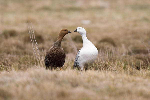 Upland Wall Art - Photograph - Upland Goose Female And Male by Dr P. Marazzi/science Photo Library