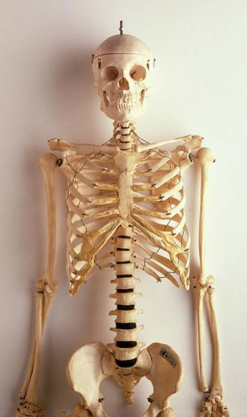 Upper Body Photograph - Upper Part Of Human Skeleton by Dorling Kindersley/uig