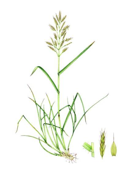 Wall Art - Photograph - Upright Brome (bromus Erectus) by Lizzie Harper/science Photo Library
