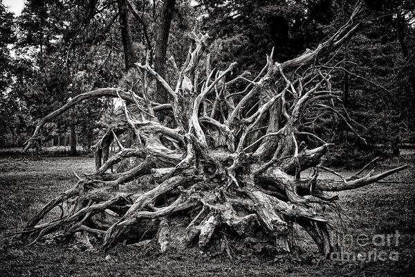 Fallen Tree Photograph - Uprooted by Olivier Le Queinec