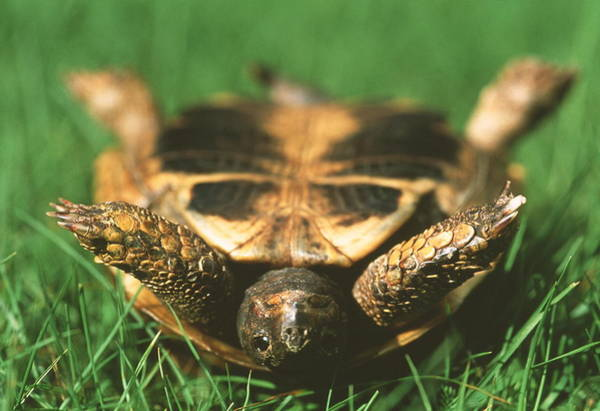 Tortoise Shell Photograph - Upside Down Tortoise by Gustoimages/science Photo Library