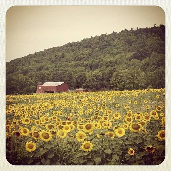 Sunflowers Wall Art - Photograph - Upstate by Mike Maher