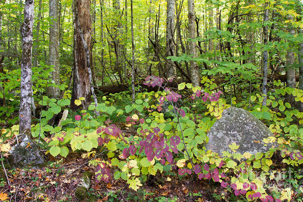 Photograph - Upstate Ny Forest by Chris Scroggins