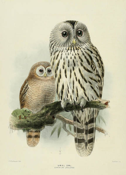 Owl Painting - Ural Owl by Dreyer Wildlife Print Collections