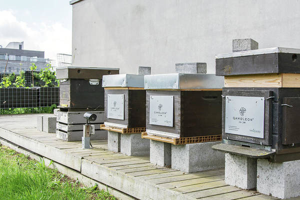 Bee Hive Photograph - Urban Bee Hives by Stg/alyson Polderman/reporters/science Photo Library