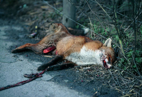 Urban Wildlife Photograph - Urban Fox Killed By A Passing Car by Science Photo Library