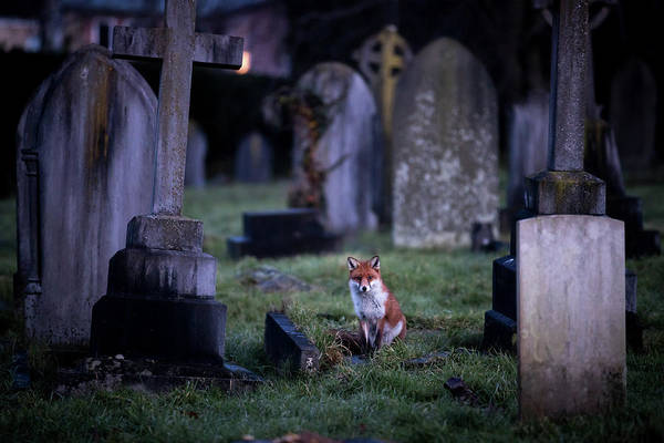 Photograph - Urban Fox Numbers Continue To Rise by Matt Cardy