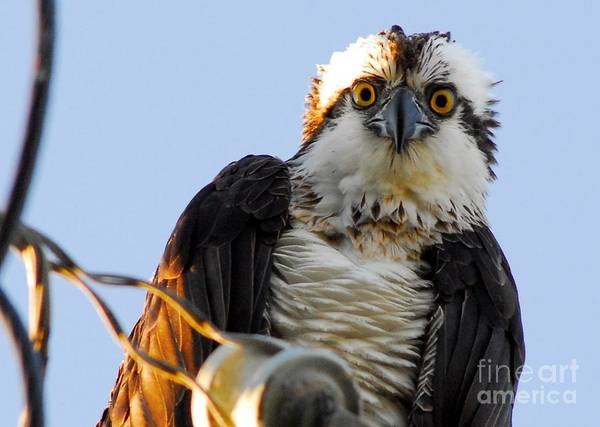 River Hawk Photograph - Urban Osprey by Quinn Sedam