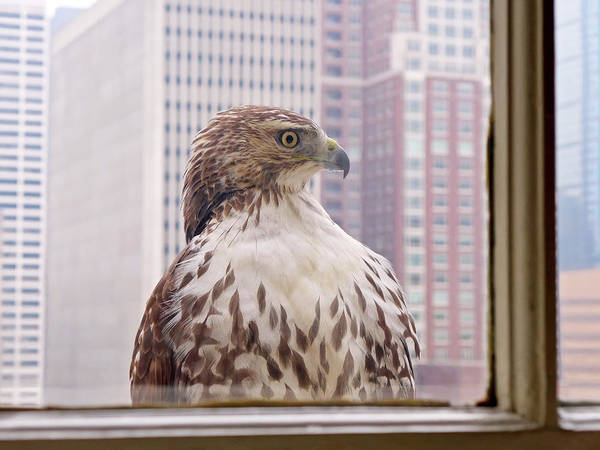 Photograph - Urban Red-tailed Hawk by Rona Black