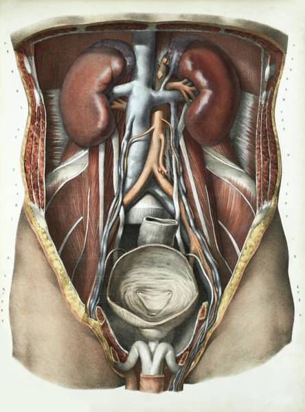 Adrenal Gland Photograph - Urinary System by Science Photo Library
