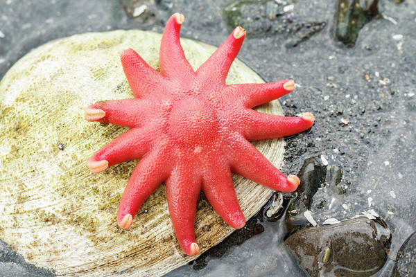 Juneau Photograph - Usa, Alaska A Red Sun Star On A Clam by Margaret Gaines