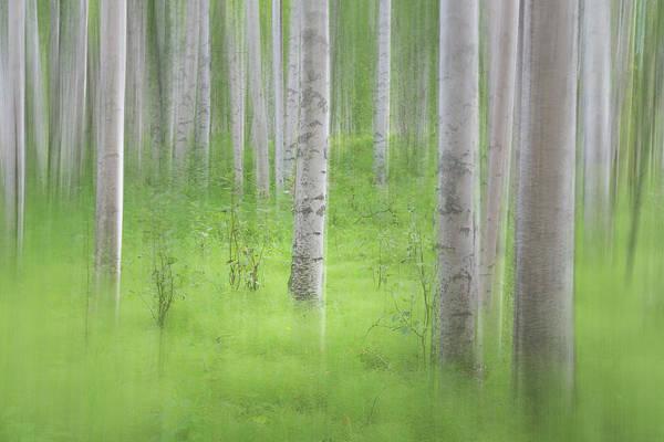 Wall Art - Photograph - Usa, Alaska Abstract Blur Of Birch Trees by Jaynes Gallery