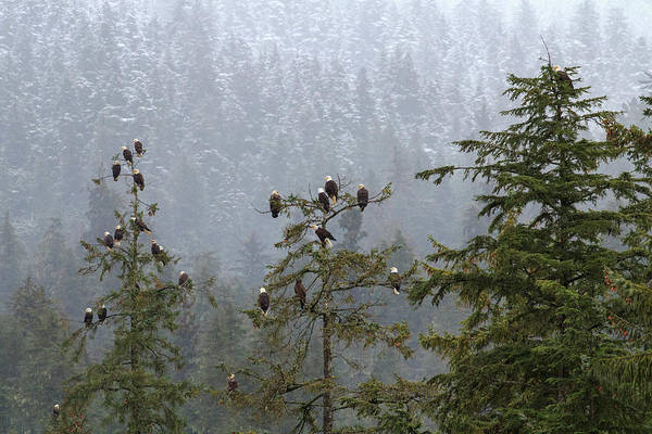 Juneau Photograph - Usa, Alaska Bald Eagles Congregate by Margaret Gaines