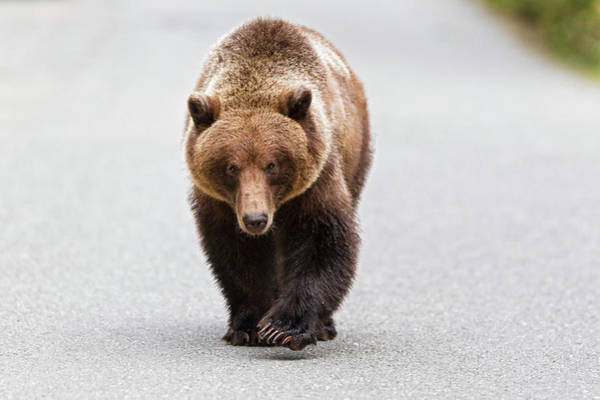 Born In The Usa Photograph - Usa, Alaska, Brown Bear Walking On Road by Westend61