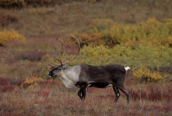 Alaskan Photograph - Usa, Alaska, Bull Caribou, Denali by Gerry Reynolds