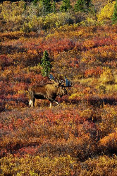 Wall Art - Photograph - Usa Alaska Denali National Park Moose by Terry Eggers