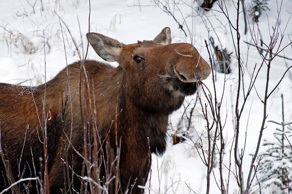 Alces Alces Photograph - Usa, Alaska Female Moose Browsing by Jaynes Gallery