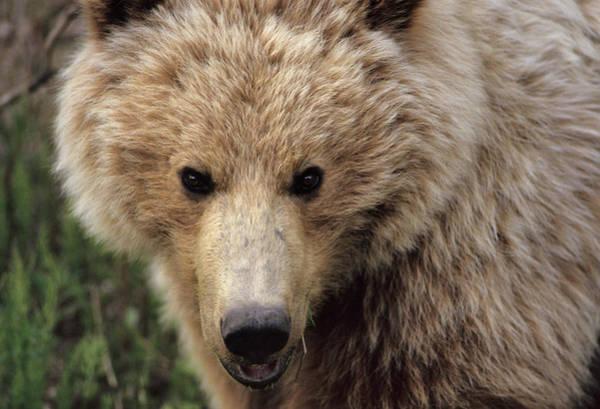 Alaskan Photograph - Usa, Alaska, Grizzly Bear, Denali by Gerry Reynolds