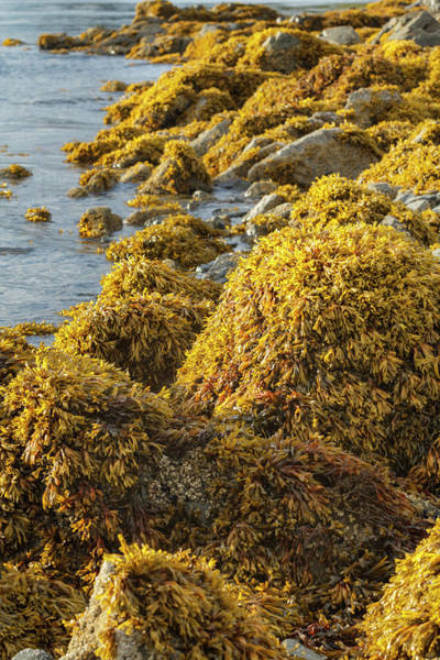 Juneau Photograph - Usa, Alaska Kelp Covers Rocks by Margaret Gaines