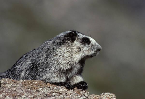 Marmot Photograph - Usa, Alaska, Marmot, Denali National by Gerry Reynolds