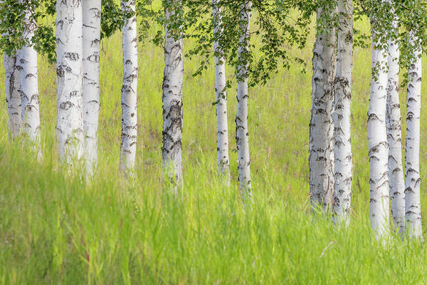 Wall Art - Photograph - Usa, Alaska Paper Birch Trees And Grass by Jaynes Gallery