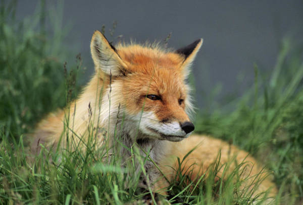 Alaskan Photograph - Usa, Alaska, Red Fox, Denali National by Gerry Reynolds