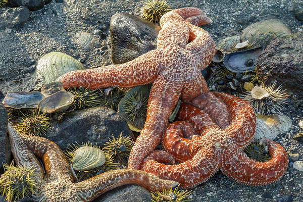 Juneau Photograph - Usa, Alaska Sea Stars And Sea Urchins by Margaret Gaines