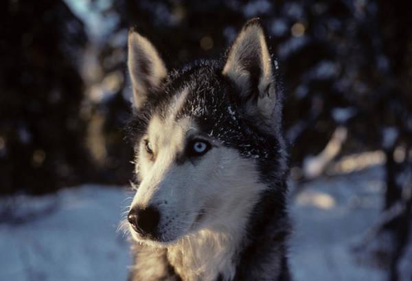 Alaskan Photograph - Usa, Alaska, Sled Dogs, Dog Sledding by Gerry Reynolds